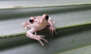 The treefrogs represent the first established population on the US mainland outside Florida.