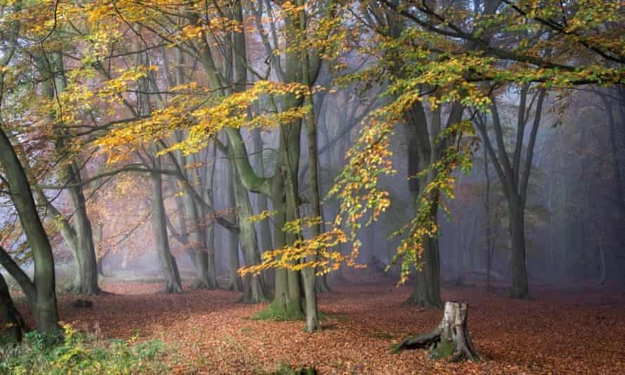 Deciduous wood in mist.