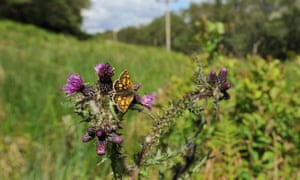 A chequered skipper at Glasdrum national nature reserve in the Scottish Highlands.