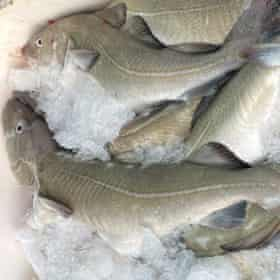 Cod from the Faroe bank on ice