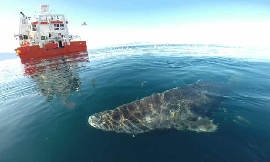 A Greenland shark near the surface after its release from the research vessel Sanna in northern Greenland.
