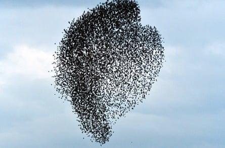 Starlings in the skies.