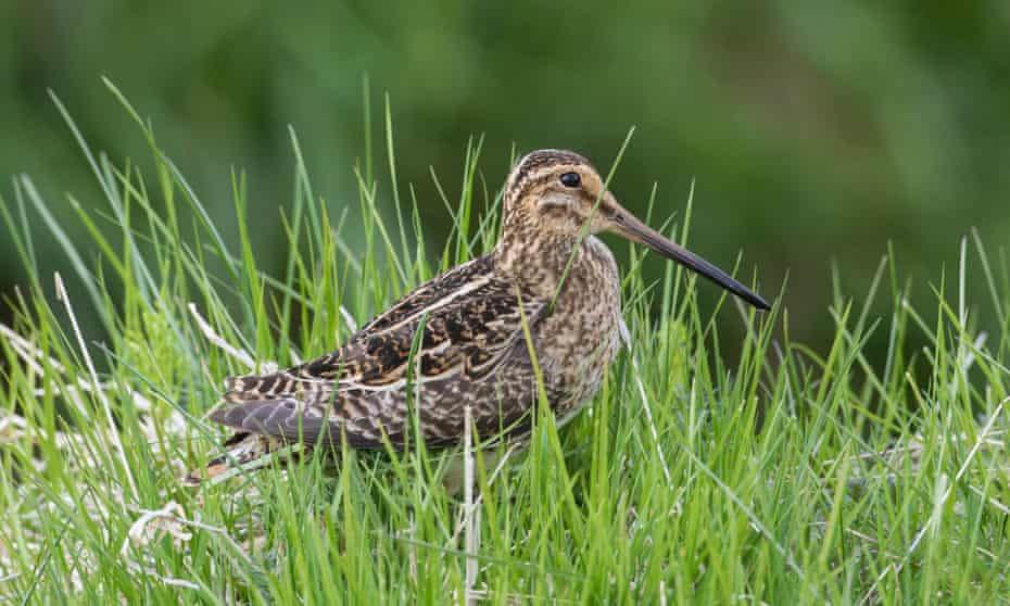 The common snipe (Gallinago gallinago) is one of the bird species at risk of extinction in Europe.