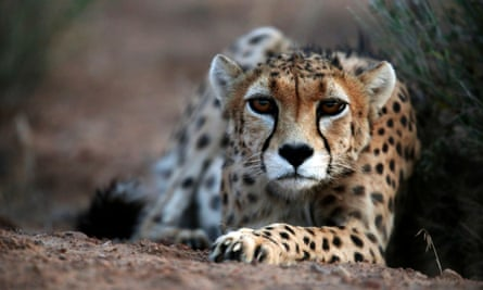 The Asiatic cheetah, which is one of the world's most endangered species with only 50 left alive.