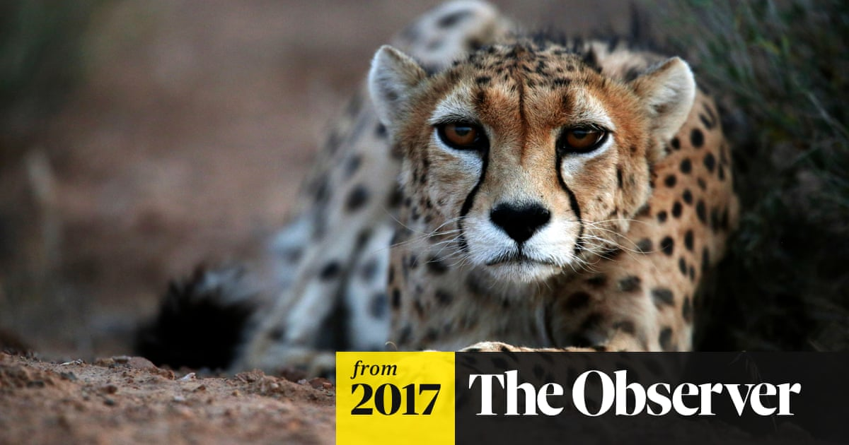 Asiatic cheetahs on the brink of extinction with only 50 left alive