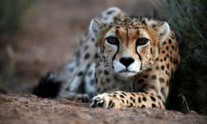 A male Asiatic cheetah.