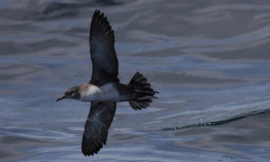 A Balearic shearwater