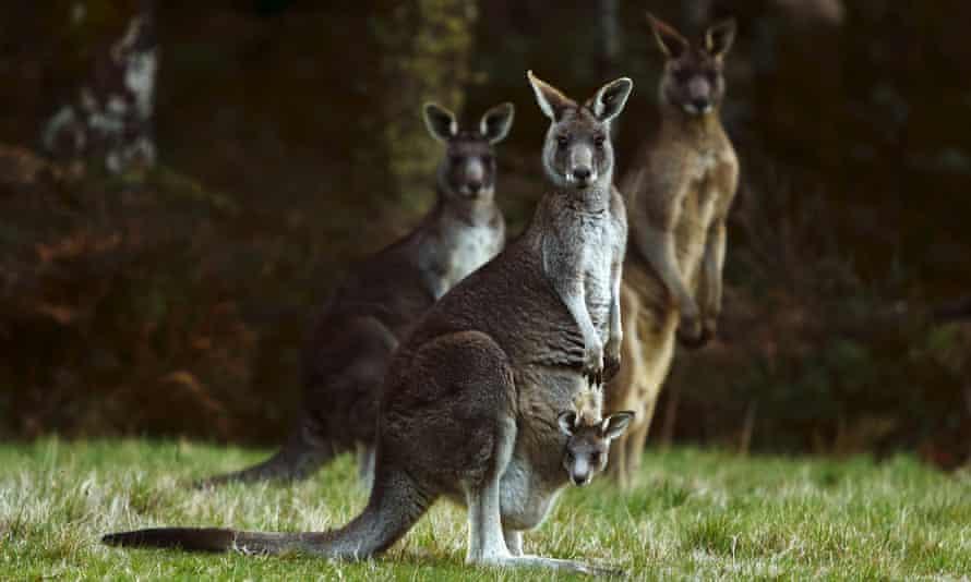 Four kangaroos, including  a joey