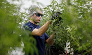 A worker collects cuttings from a marijuana plant at Canopy Growth in Smiths Falls, Ontario, Canada.