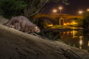 A European beaver comes out at night, France.
