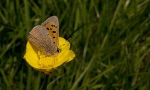 A small copper female on a buttercup.