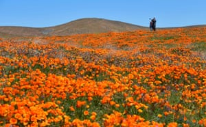 Lancaster, California: People visit the Antelope Valley Poppy Reserve after a super bloom of wildflowers have erupted across California's once-parched hills this spring after a particularly wet winter