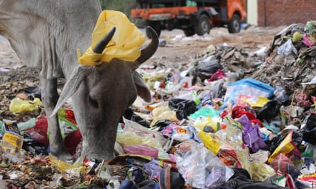 A plastic bag hangs on the horns of a cow as it sifts through rubbish for food in New Delhi, India.