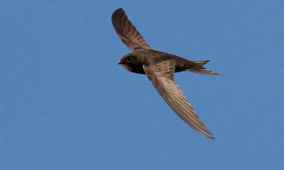 A common swift.