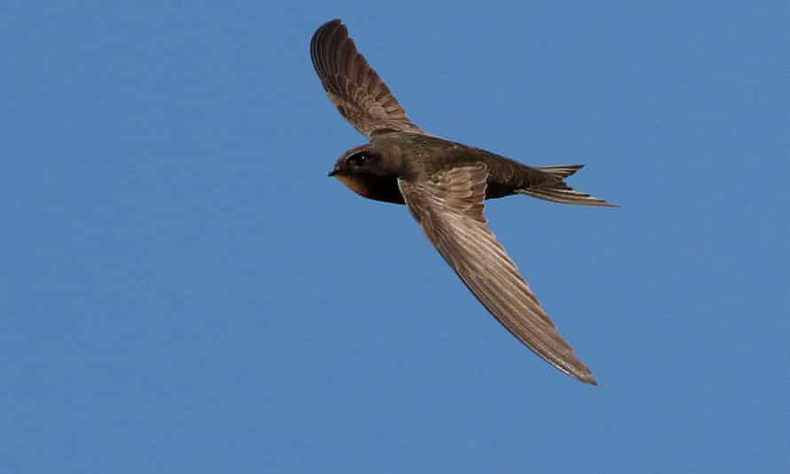 Swifts are among nature's greatest endurance athletes, a new study reveals.