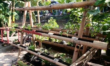 Green oasis: a vertical garden beside the river in Tongkol kampung.