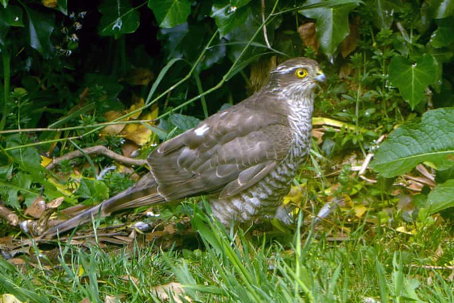 A sparrowhawk is seen in Jean McKendree's York garden.