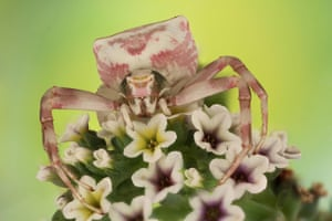 A flower crab spider, shot in Saudi Arabia by Mofeed Abu Shalwa