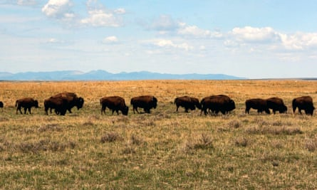 A herd of bison move through land in Malta, Montana.