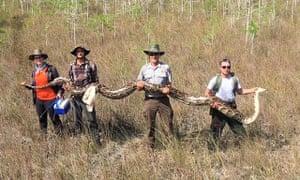 Big Cypress National Preserve group captures 17ft female python on 4 April.