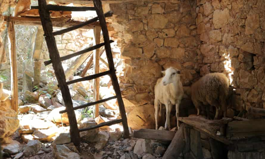 Sheep in the ruined village of Stepici