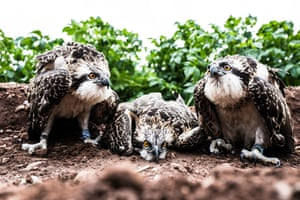 A six week old Osprey chick in Jedburgh in the Scottish Borders