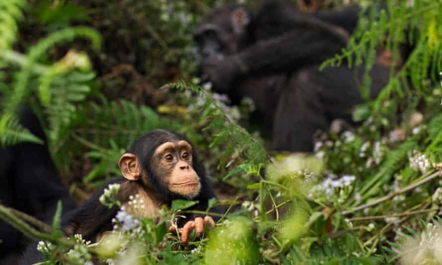 A western chimpanzee infant male