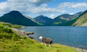 A Herdwick sheep grazing by Wastwater in the Lake District National Park