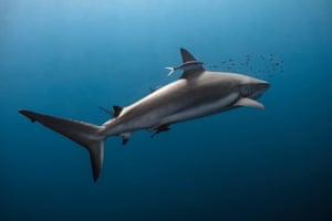 They are vulnerable to overfishing due to slow growth, late maturity, lengthy gestation, and few young.Classified as Near Threatened (NT) on the International Union for Conservation of Nature (IUCN) Red List of Threatened Species, and ranked among the top three most important sharks in the global fin trade, the silky shark truly deserves all our love and attention.