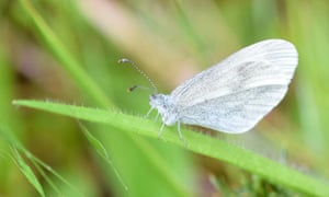 A wood white butterfly, wings folded