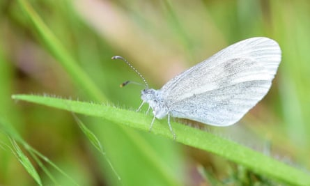 A wood white butterfly, wings folded