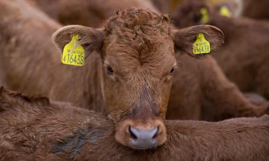 A young heifer at a farm in Ashford, Kent.