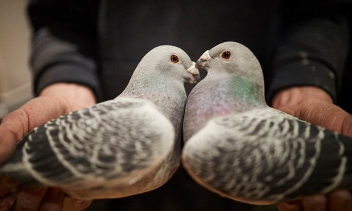 The Crufts of pigeon fancying – photo essay   Art and design
