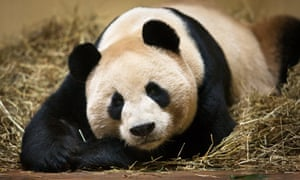 Edinburgh zoo's male giant panda, Yang Guang