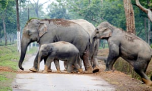 Traffic hazard… wild elephants cross a road in Assam.