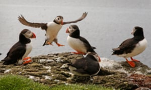Puffins in the Hebrides