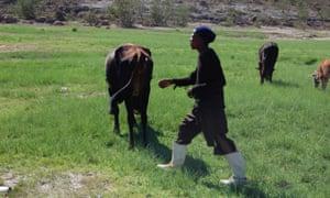 Hopolang Staka herds cattle in Mafeteng, February 2016.