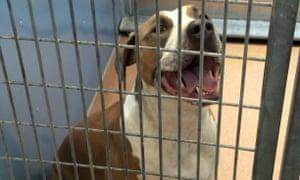 American Staffordshire terrier-Great Dane