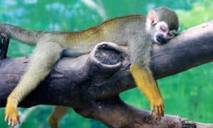 Zhengzhou, China A squirrel monkey rests on a tree branch on a hot day at a zoo