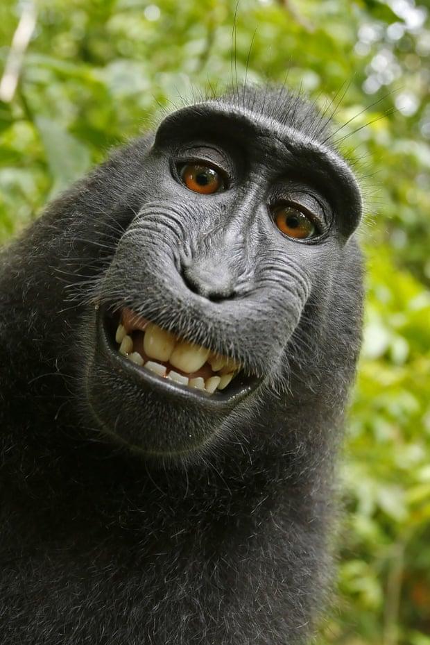 Nekonečný soud o práva jedné opice. Má zvíře autorská práva na své ... 01ffa74641