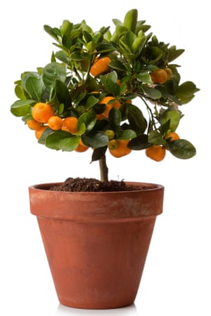 Full of flavour: an orange plant for indoors.