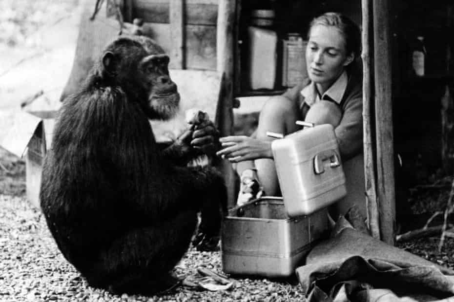 Goodall with chimp David Greybeard, circa 1965.