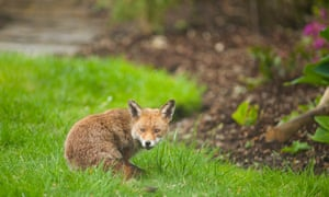 Sharp drop in numbers in England since 2010 ... the fox.