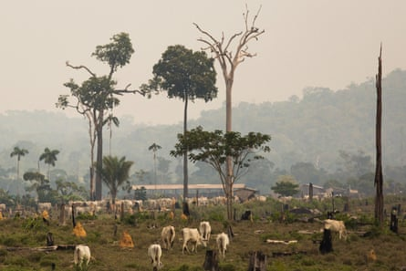 Cattle in an area embargoed by Ibama in the Amazon.