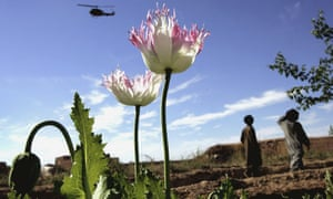 Opium poppies in the Helmand province of southern Afghanistan.