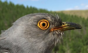 Onon, a common cuckoo from Mongolia