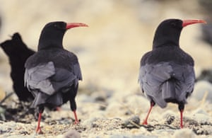 Choughs in Cornwall