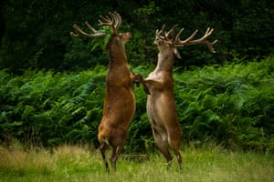 Two deer argue over who's tallest