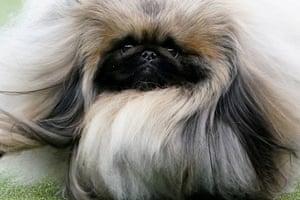 A Pekingese named Wasabi is judged