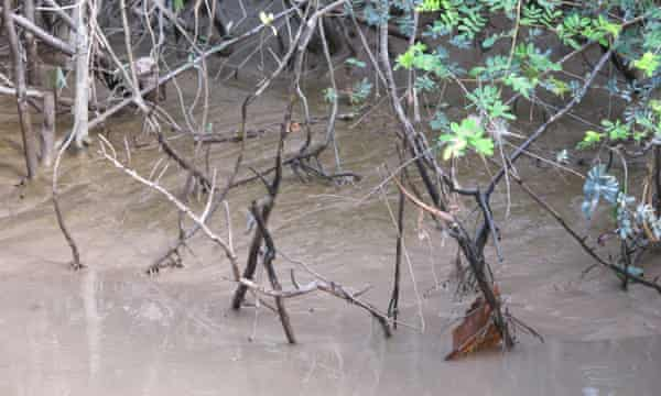Mangroves are considered crucial buffers to storms and salt water intrusion, as well as key habitats for certain marine creatures.